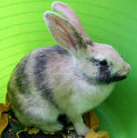 friskys - bo the rabbit adoptables - smaller.jpg (352176 bytes)